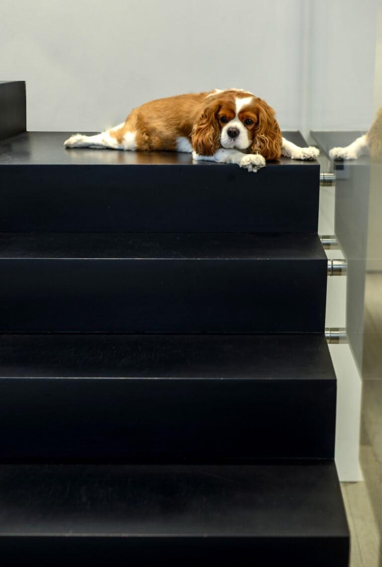 קוקר ספניאל על מדרך ברזל השחור של המדרגות בפנטהאוס